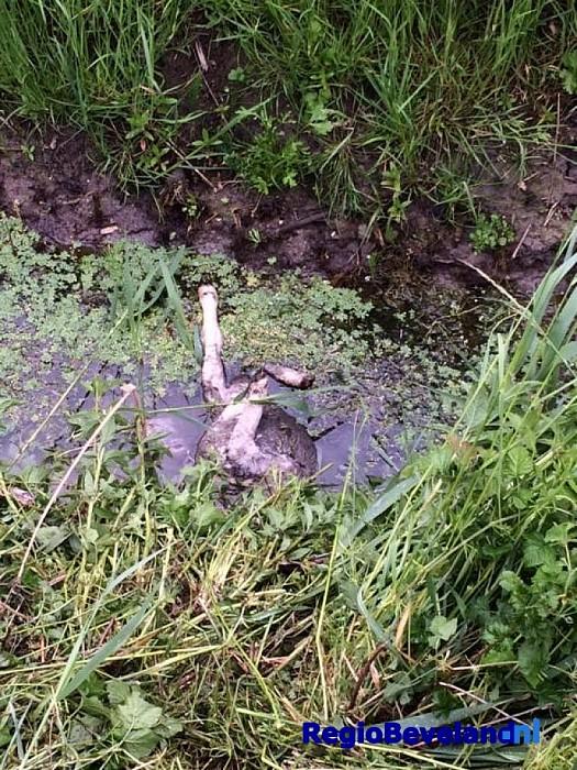 Lammetje doodgebeten door Rottweiler Heinkenszand - Foto: @Politie_Zeeland