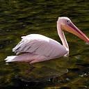 Twee roze pelikanen waargenomen boven de Oosterschelde