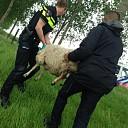 Lammetje doodgebeten door Rottweiler Heinkenszand
